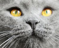British shorthair cat detail Stock Photos