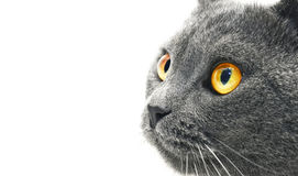 British shorthair cat detail (British Blue cat) Royalty Free Stock Photos