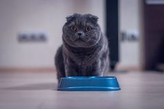 British Shorthair cat eat from a bowl.  royalty free stock images