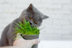 British Shorthair cat He eats useful vitamin-rich grass in a pot from a pet shop. On the gray background stock images