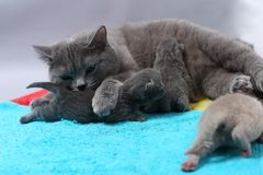 Mother cat breastfeeding her babies Stock Images