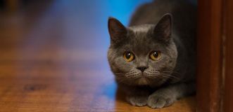 British shorthair cat on the floor indoors looking at you Royalty Free Stock Images