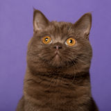 British shorthair cat, in front of purple Royalty Free Stock Photo