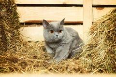 British Shorthair Cat. Funny blue british shorthair cat on hayloft Royalty Free Stock Image