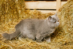 British Shorthair Cat. Funny blue british shorthair cat on hayloft Royalty Free Stock Photography