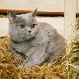 British Shorthair Cat. Funny blue british shorthair cat on hayloft Royalty Free Stock Images