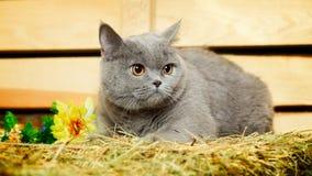 British Shorthair Cat. Funny blue british shorthair cat on hayloft Stock Photos