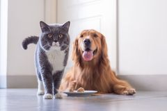 British shorthair cat and Golden Retriever royalty free stock photography