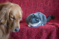 British Shorthair Cat and Golden Retriever Stock Images