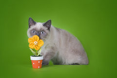 British shorthair cat on a green background isolated Stock Images