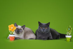 British shorthair cat on a green background isolated Royalty Free Stock Photography