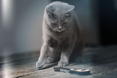 British Shorthair cat and a guitar. British Shorthair kitten looking at a small guitar Stock Photography