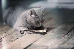 British Shorthair cat and a guitar. British Shorthair kitten looking at a small guitar Royalty Free Stock Image