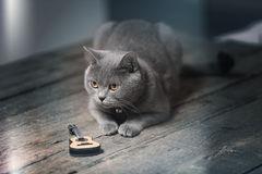 British Shorthair cat and a guitar. British Shorthair kitten sitting next to a small guitar Stock Image