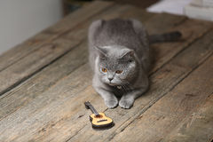 British Shorthair cat and a guitar. British Shorthair kitten sitting next to a small guitar Stock Photos