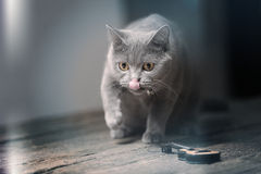 British Shorthair cat and a guitar. British Shorthair kitten walking by a small guitar Royalty Free Stock Image