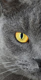 British shorthair cat half face portrait Royalty Free Stock Image