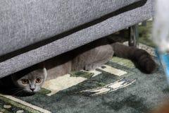 British Shorthair cat. Hiding under the armchair Royalty Free Stock Photos