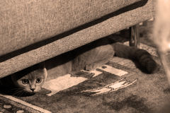 British Shorthair cat. Hiding under the armchair Stock Images