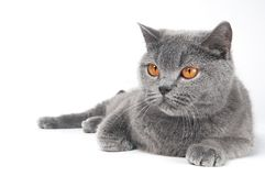 British Shorthair cat isolated Royalty Free Stock Photo