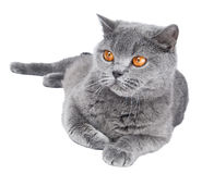 British Shorthair cat isolated Stock Photo