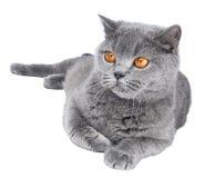 British Shorthair cat isolated Stock Photo