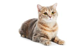 British Shorthair cat isolated Royalty Free Stock Photo