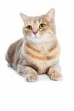 British Shorthair cat isolated Stock Image