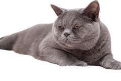 British shorthair cat isolated Royalty Free Stock Image