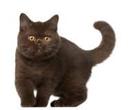 British shorthair cat, kitten, 4 months old Royalty Free Stock Images