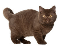 British shorthair cat, kitten, 4 months old Stock Image