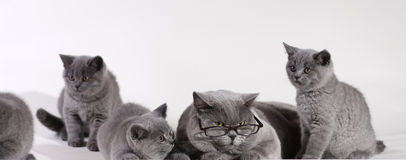 British Shorthair cat with kittens Royalty Free Stock Photo