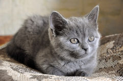 British Shorthair cat is laying on the bad and looking forward.  Royalty Free Stock Photos