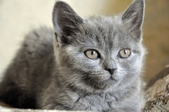 British Shorthair cat is laying on the bad and looking forward.  stock image