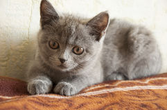 British Shorthair cat is laying on the bad and looking forward.  Stock Photography