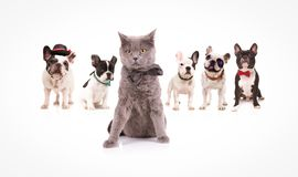 British shorthair cat  leading a group of french bulldogs Royalty Free Stock Photography