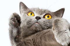 British shorthair cat Royalty Free Stock Image