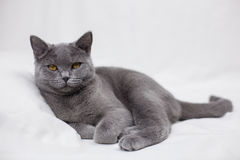 British shorthair cat. On the light background Royalty Free Stock Image