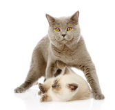 British shorthair cat and little kitten.  on white Stock Photos