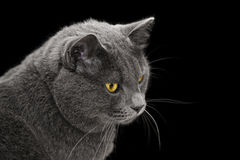 British shorthair cat looking back Stock Photos