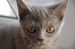 British Shorthair cat is looking forward at the window.  Stock Image