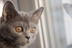 British Shorthair cat is looking forward at the window. Reflection.  Royalty Free Stock Photography