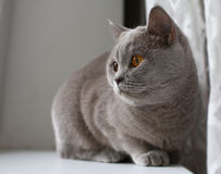 British shorthair cat Royalty Free Stock Photo