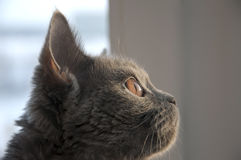 British Shorthair cat is looking in the window on the sundown.  Royalty Free Stock Images