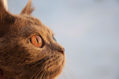 British Shorthair cat is looking in the window on the sundown Stock Photo