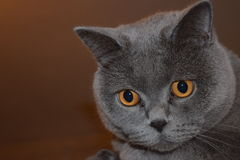 British Shorthair - cat. Lovely face of British short-hair face Royalty Free Stock Photography