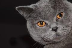 British Shorthair - cat. Lovely face of British short-hair face Stock Photo