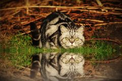 British shorthair. Cat lurking at a puddle Royalty Free Stock Photo