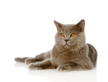 British shorthair cat lying. isolated on white background Royalty Free Stock Photo