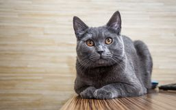 British shorthair cat lying on the table Stock Images